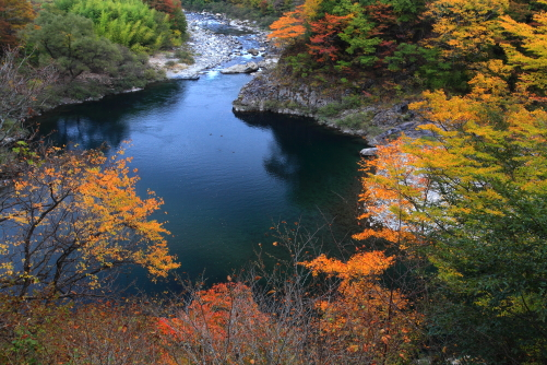紅葉の映える王滝川にカモ飛来
