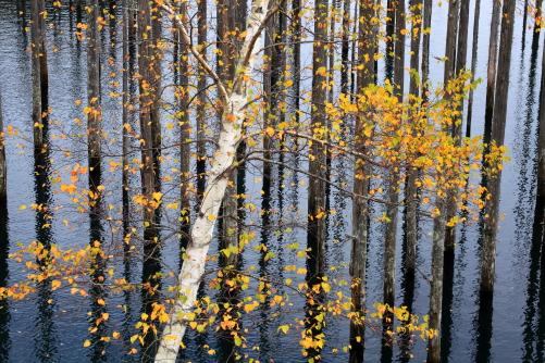 湖面の枯木の林に黄葉のシラカバ