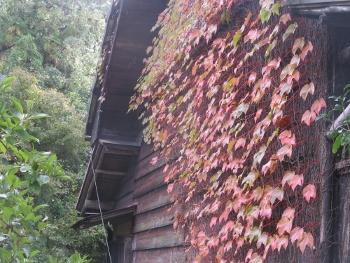 真っ赤の茎のつたが這う板壁