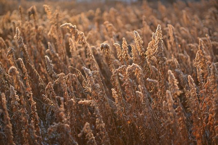 冬枯れの草たち-2