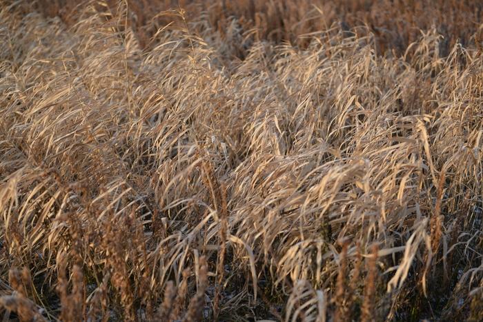 冬枯れの草たち-3