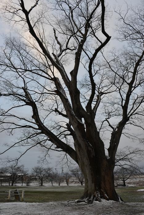 冬の木 Ⅴ-1