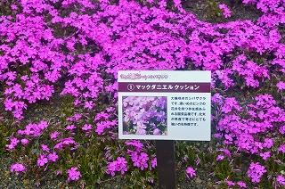 芝桜 016