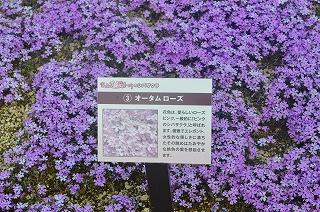 芝桜 019