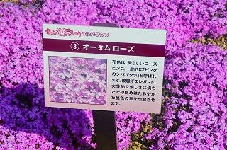 芝桜 024