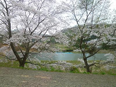 0418sakuramokinomukouaosi-to.jpg