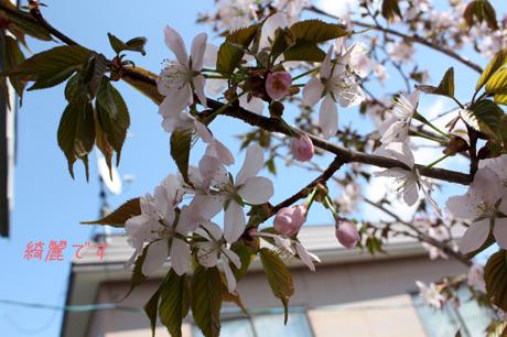 桜にも日射しは必要ね