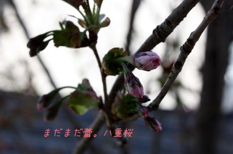 八重桜さんはまだ蕾