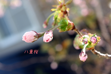 八重桜。可愛い