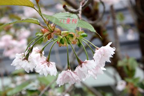 八重桜。。。満開