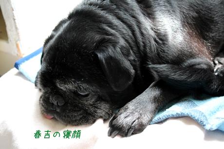 春吉の寝顔