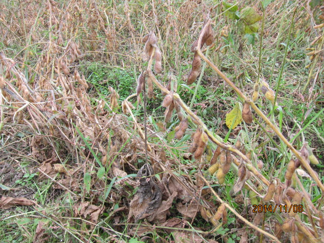 大豆の草刈り4