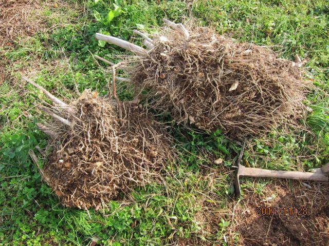 掘り出した地下茎