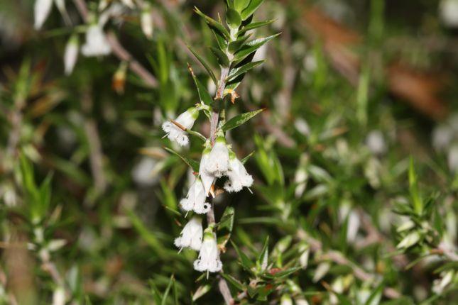 5:5Leucopogon conostephioides