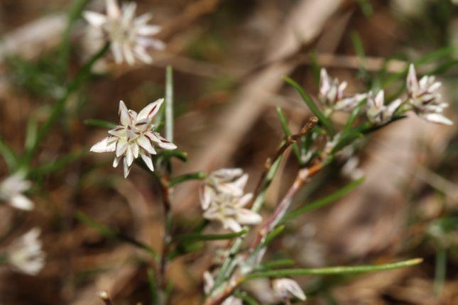 5:5Laxmannia ramosa