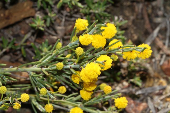 5:15Acacia teretifolia