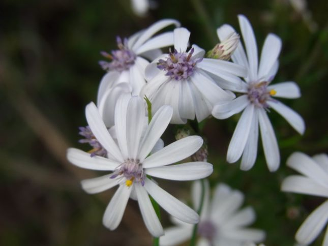 5:18Olearia paucidentata