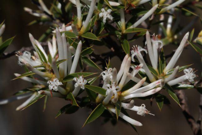 5:19Styphelia tenuiflora