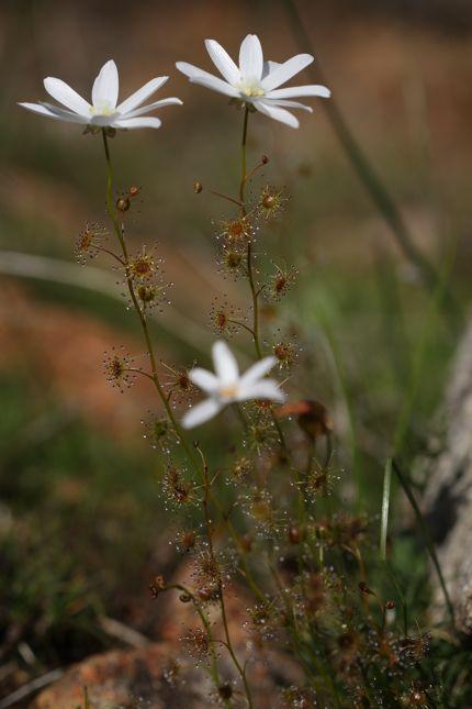 6:19Drosera heterophylla全体