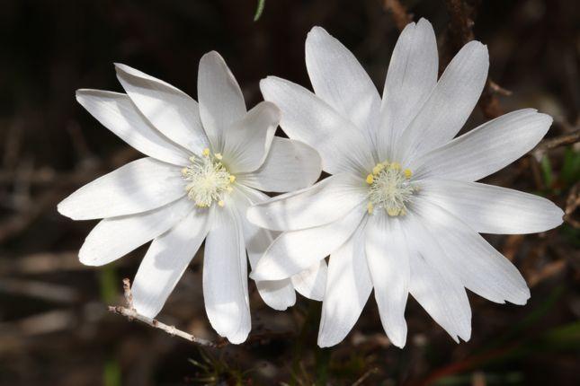 6:19Drosera heterophylla花2