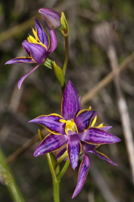 6:22Thelymitra apiculate3