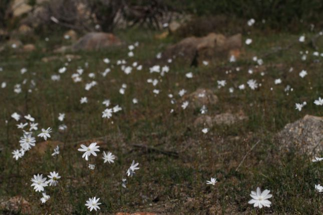6:29Drosera heterophylla群生