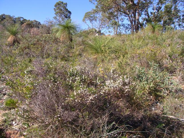 7:1Cryptandra arbutiflora風景