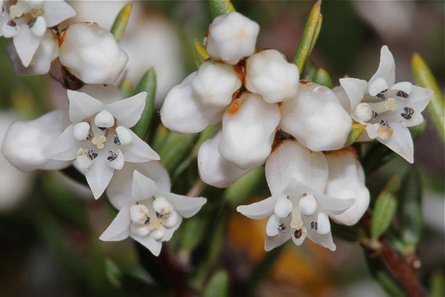 7:1Cryptandra arbutiflora