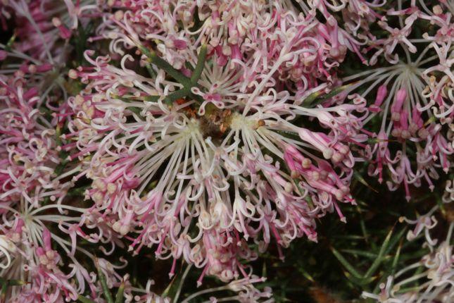6:29Hakea lissocarpha花