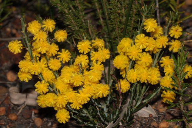 7:8Acacia teretifolia