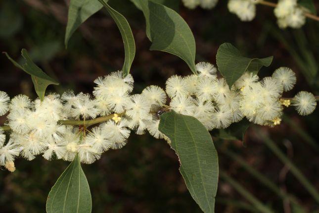 7:8Acacia urophylla花