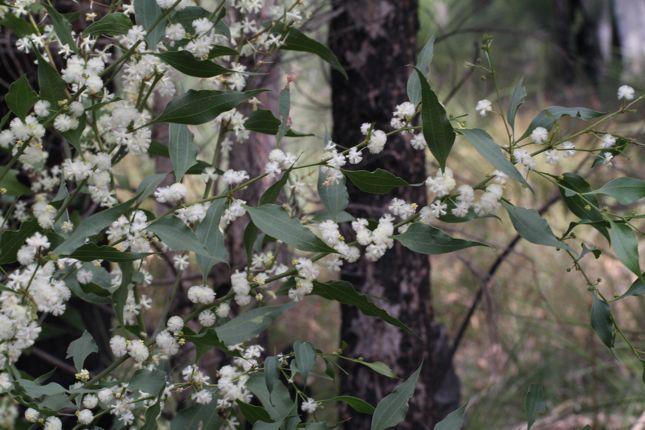 7:8Acacia urophylla