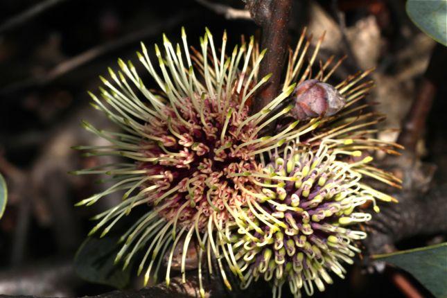 7:8Hakea petiolaris花