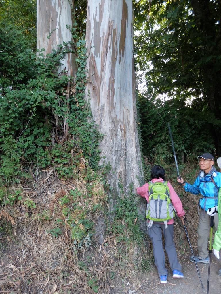 ユーカリの巨木