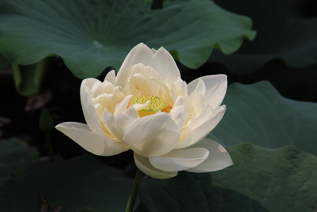東福寺三門前の池に咲いていた蓮の花