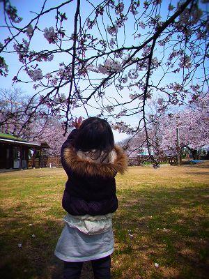 3ひょうたん池の桜