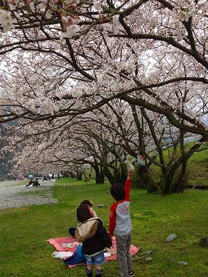 14武丈の桜1