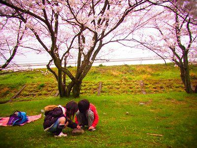 15武丈の桜2