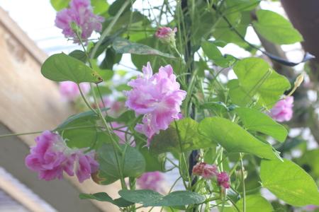 ダブル咲きアサガオ