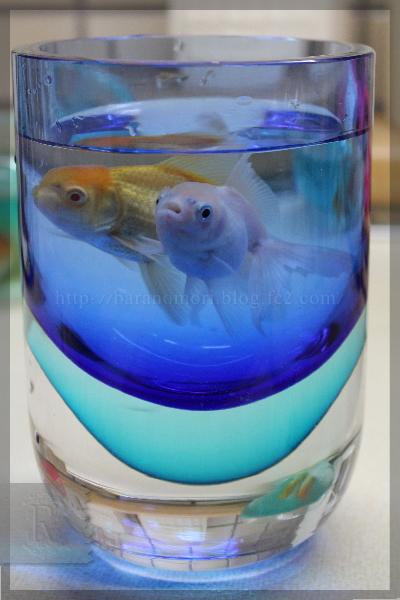 金魚 トリートメント 水替え 金魚玉 20141107