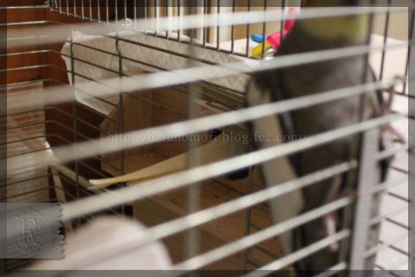 オカメインコ 卵 巣引き 20141112