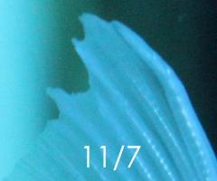 金魚 尾腐れ病 オランダシシガシラ 201411