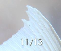 金魚 尾腐れ病 20141114