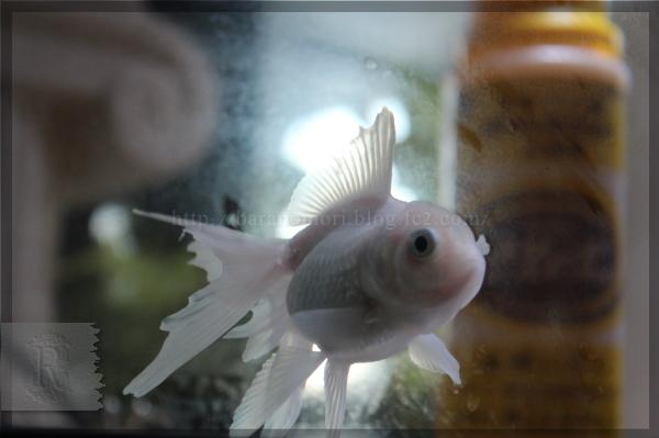 金魚 尾腐れ病 オランダシシガシラ 20141116