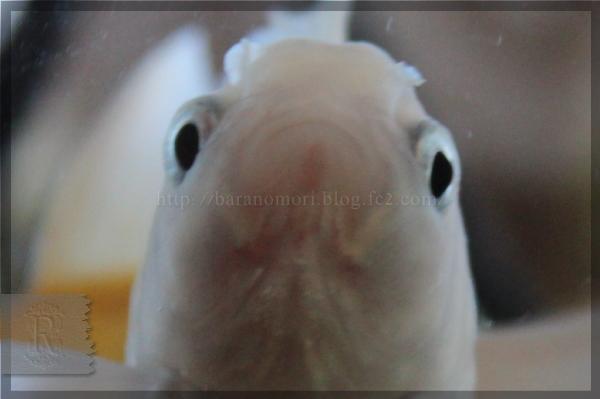 金魚 オランダ獅子頭 オランダシシガシラ 白 アルビノ 20141114