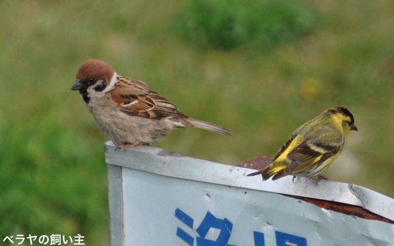 BNK-20130518-Sparrow-Siskin.jpg