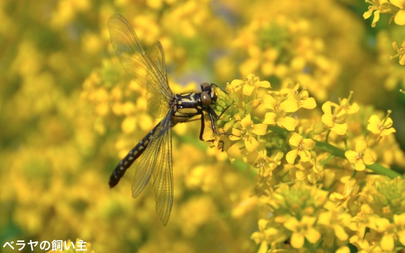 BNK-Yellow_Dragonfly.jpg