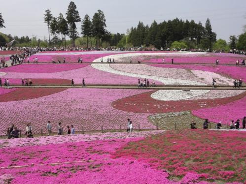 2013.4芝桜