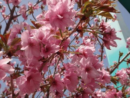 道志の桜も終わりかけ