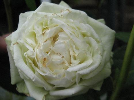 パールコルダナ (4)